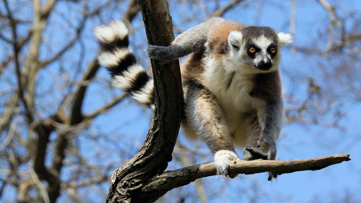 Lemur Wildlife Madagaskar