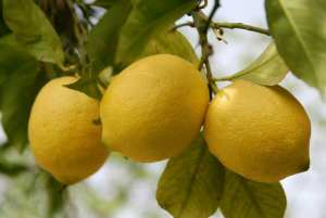 Lemon_iStock_000006006690Small