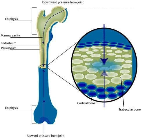 longbone