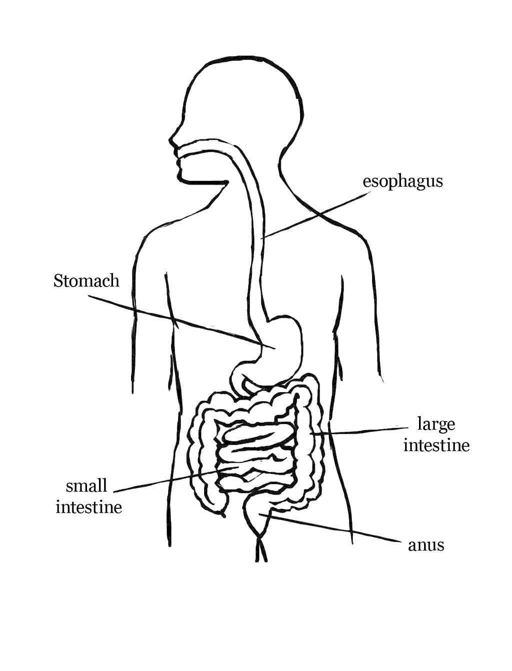 hight resolution of digestive system coloring pages fold labeling