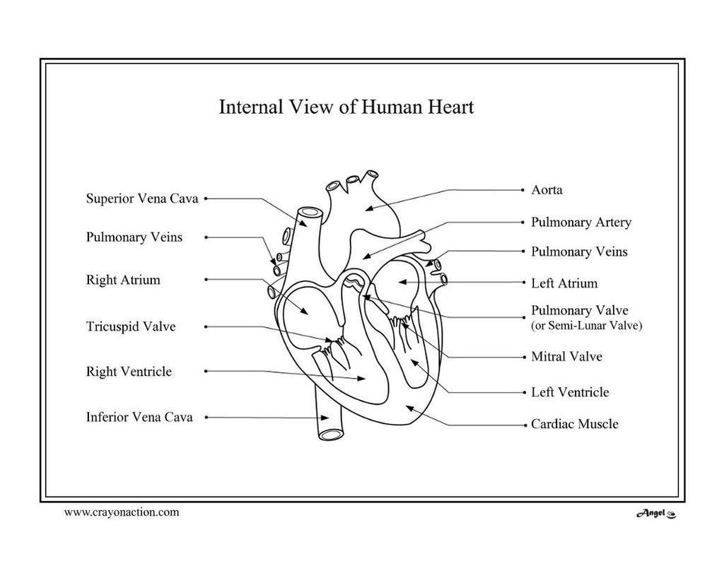 Anatomical Heart Coloring Pages Human Crayon