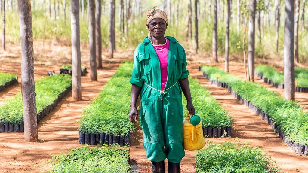 En av arbetarna som ansvarar för att vattna fröplantorna i plantskolan. Juli 2018.