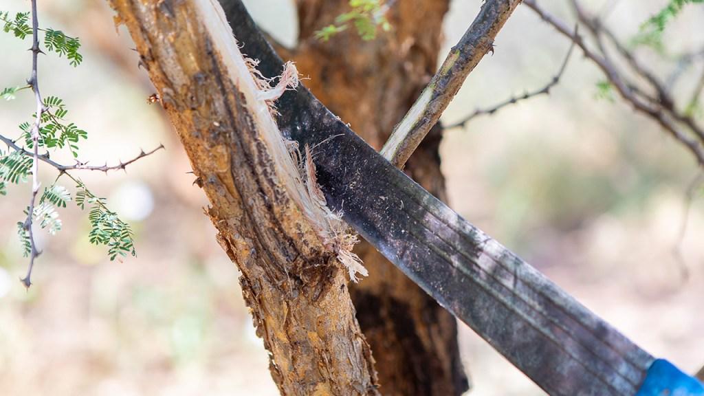 Genom att skapa mindre sår på Acacia-träden kan man öka mängden rågummi som träden ger. Kiambere, Juli 2018