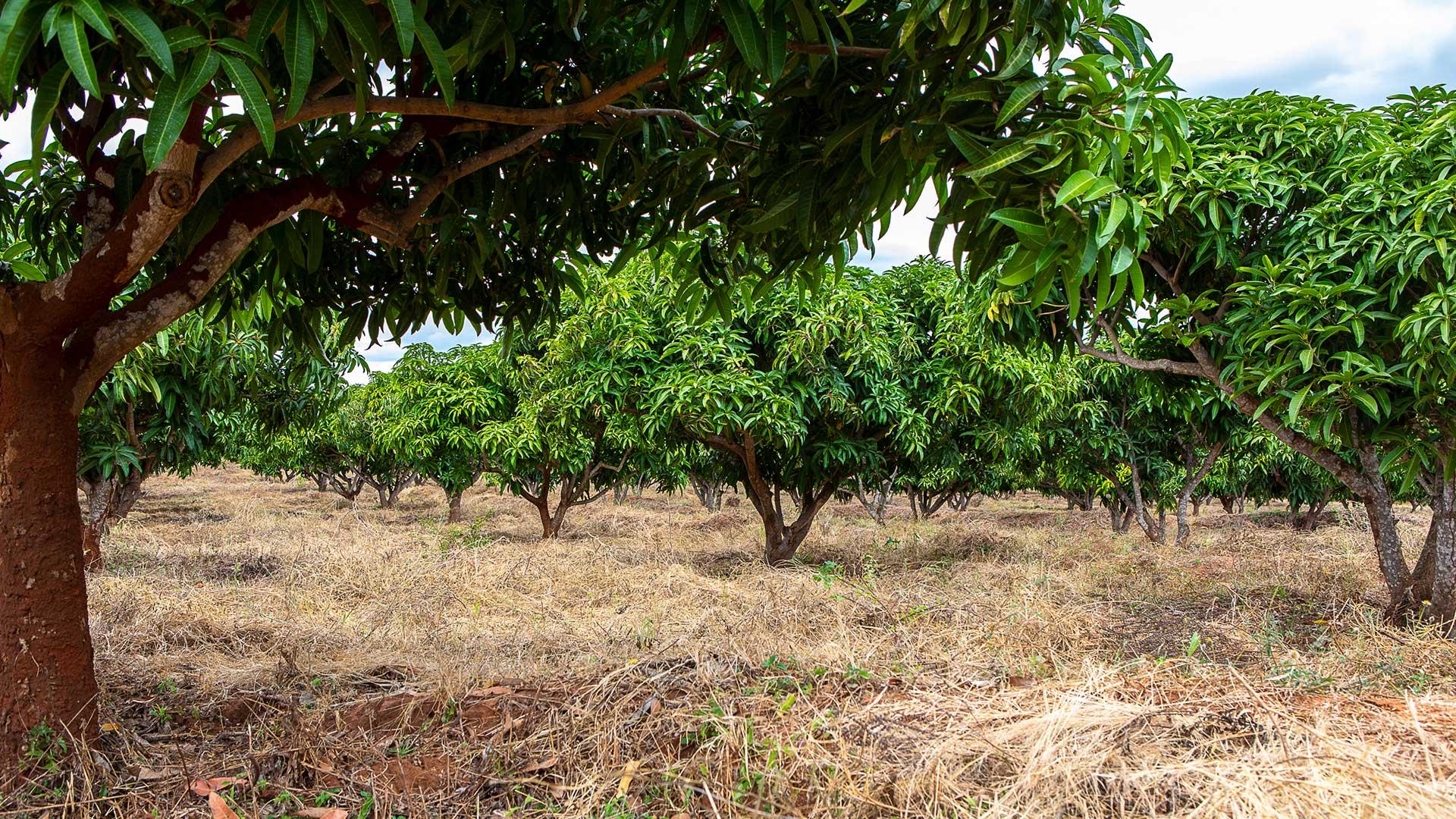 Närbild på mangoträden i Kibwezi.
