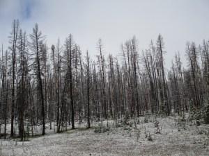 Snow on Trees landscape