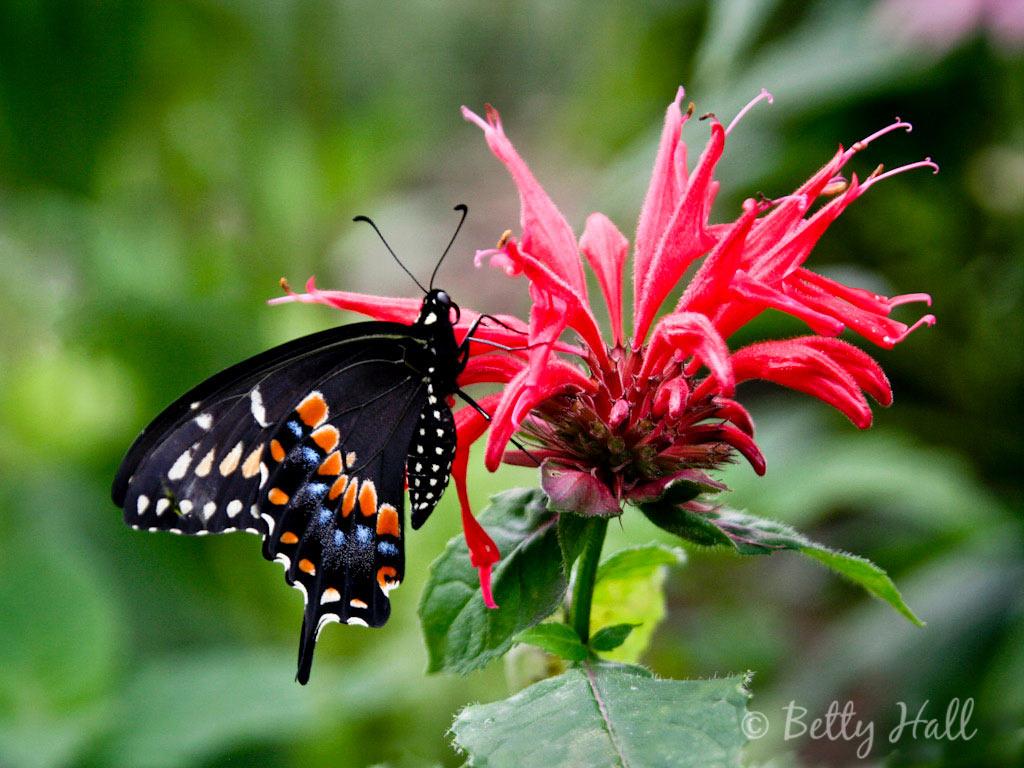 Butterflies  Betty Hall Photography
