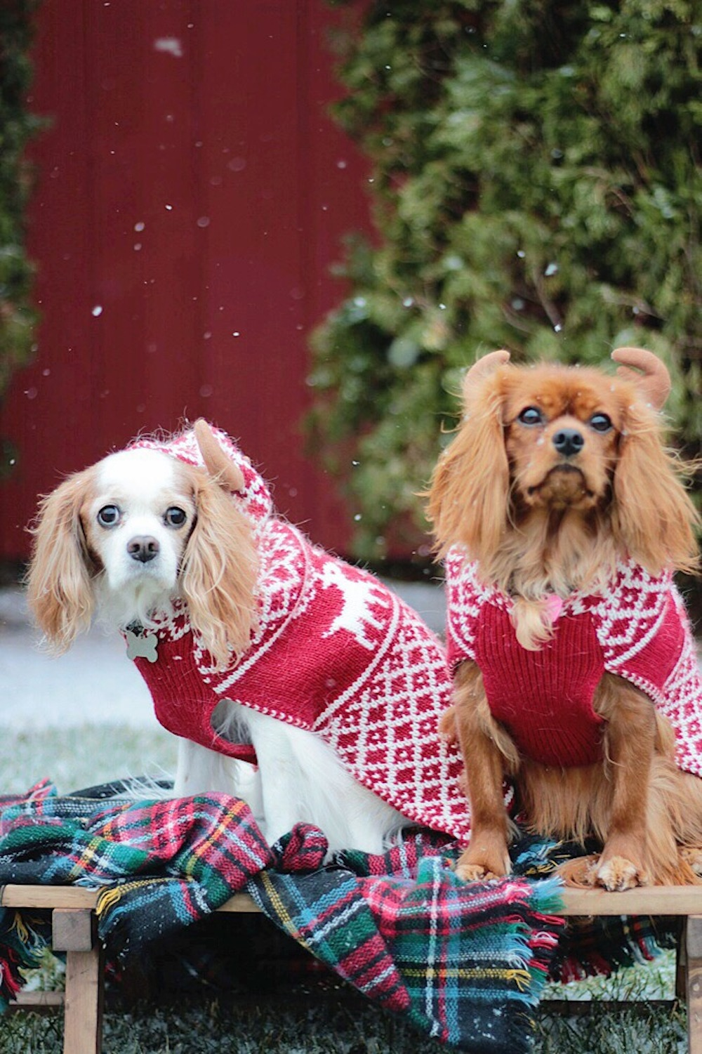 cavalier king charles rachel puccetti between two coasts