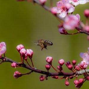 fliegende Biene und Ast