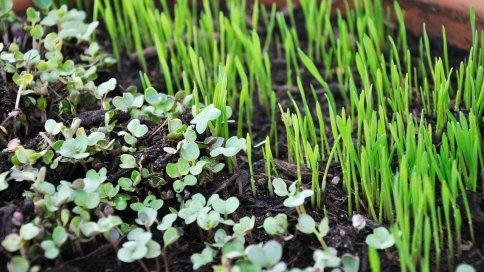 Microgreens Anbau