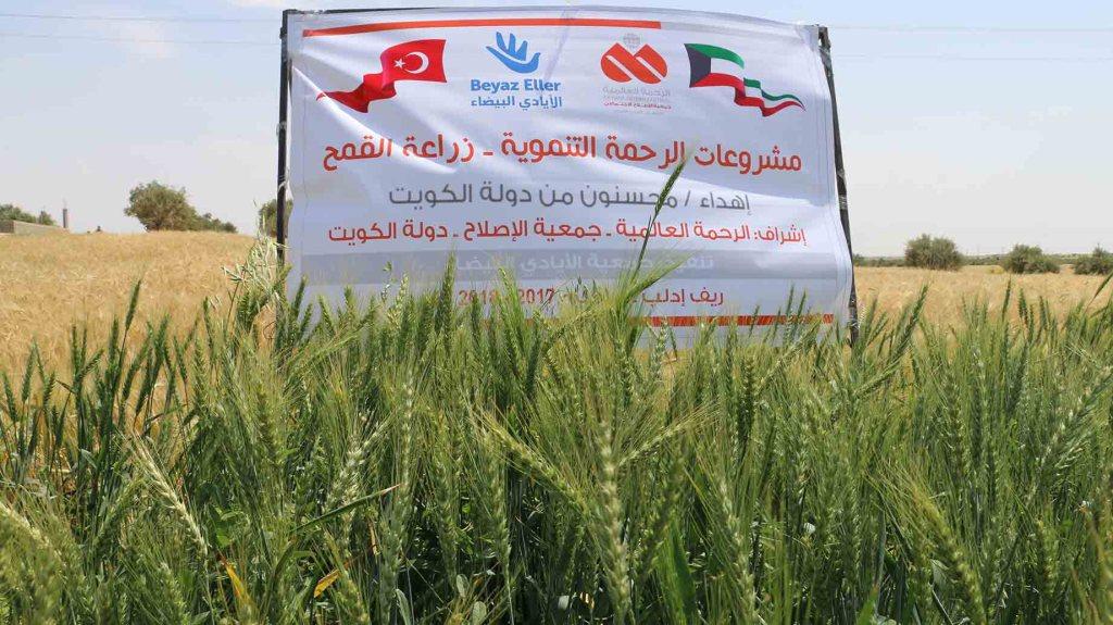 مشاريع الرحمة التنموية – زراعة القمح