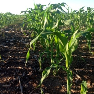 Planted Sweet Corn and Watched It Grow