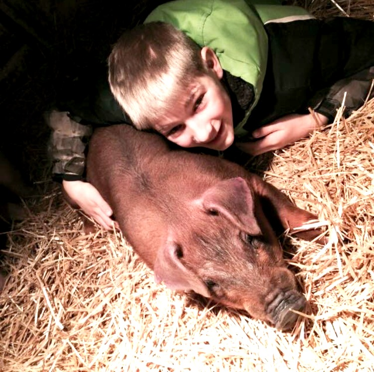 4-H show pig in bedding