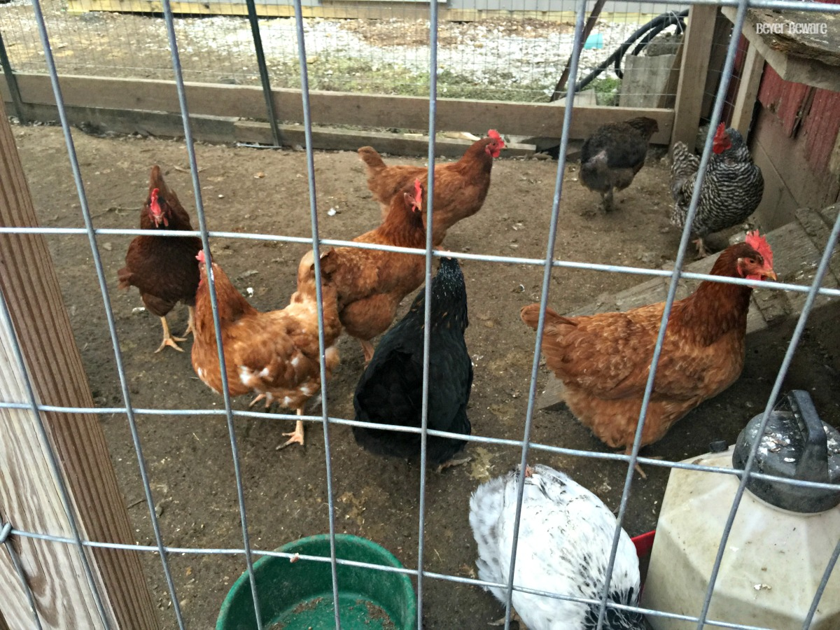 chickens outside the coop