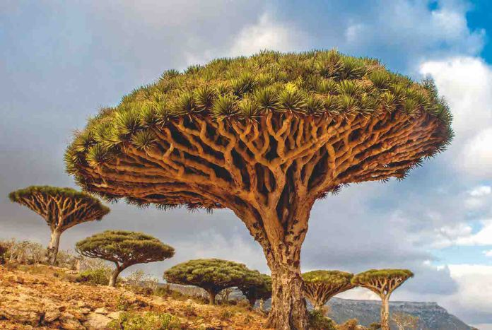 Dragon's Blood Tree The Dragon's Blood tree grows on the Canary Islands and is the natural symbol of Tenerife. The oldest living Dragon's Blood tree is estimated to be around 365 years old.