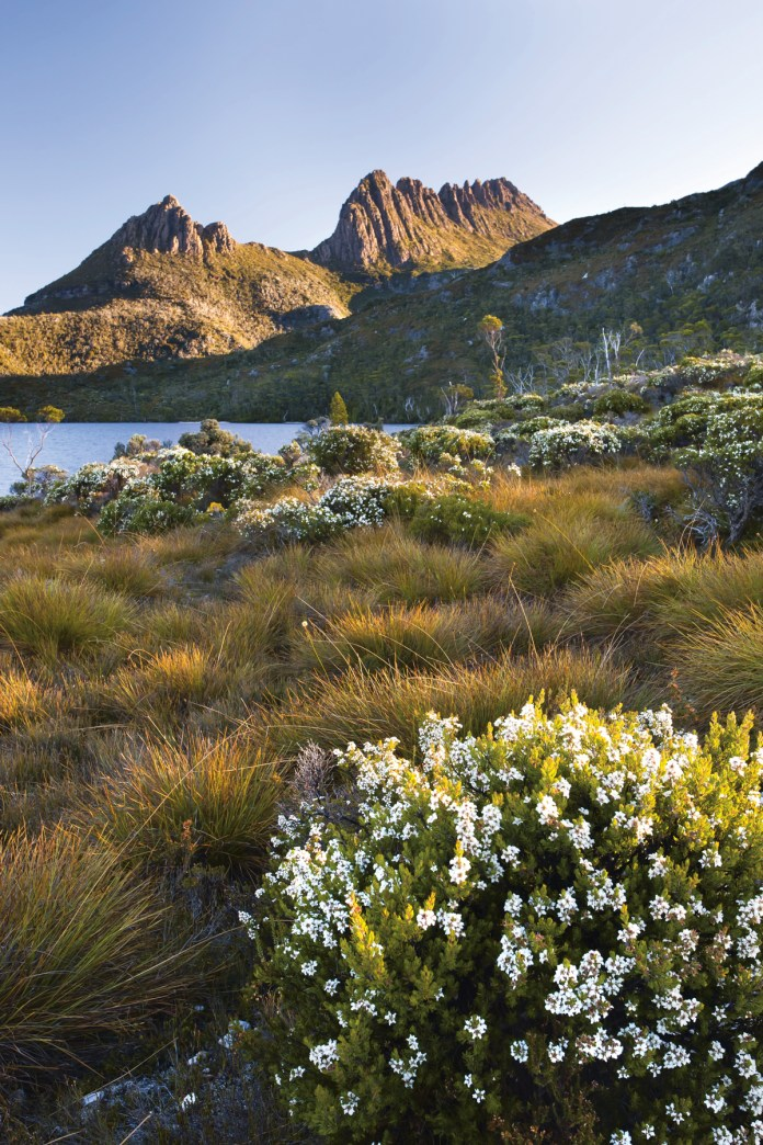 Wild-flowers-next-to-Dove-Lake-and-Cradle-Mountain-Tasmania,
