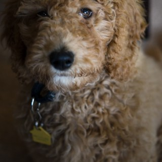 Nabi, the labradoodle puppy