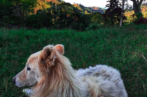 Puppy resting on the finca in Salento, Colombia