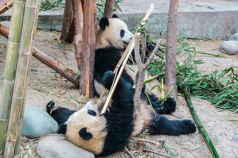 pandas-in-chengdu-china-best-things-to-do-in-china