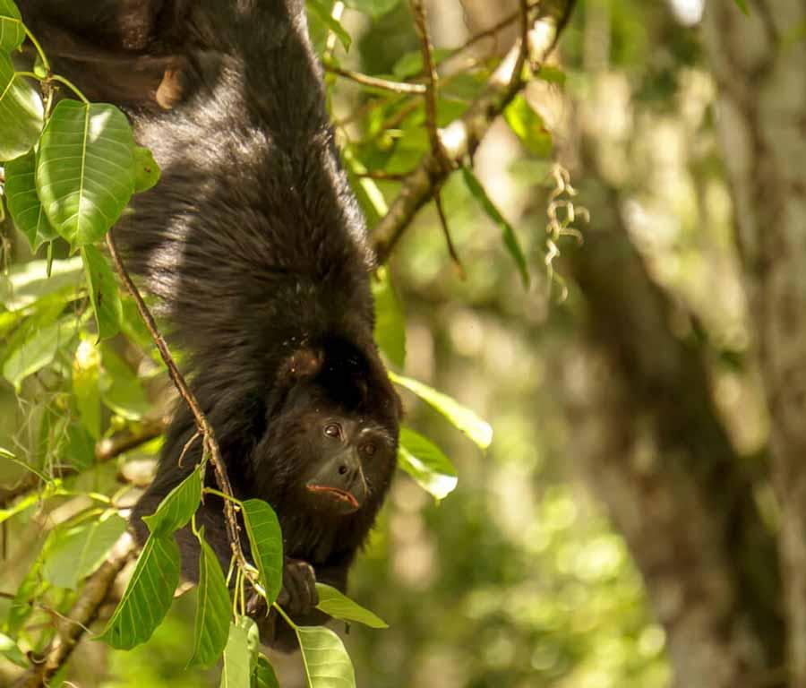 howler-monkey-guatemala