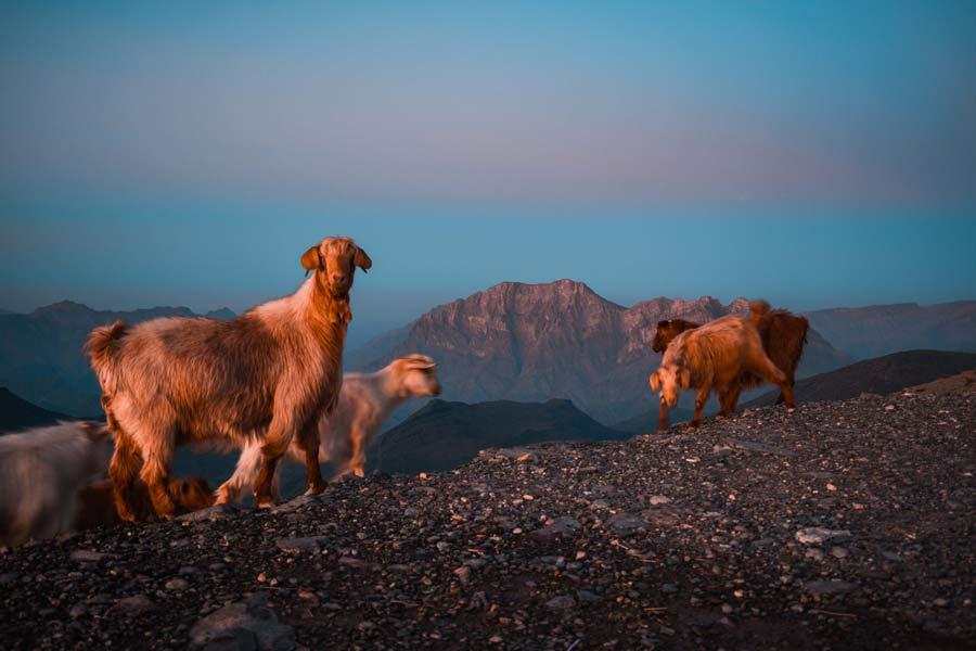 jabal-shams-oman-sheep