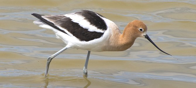 Bird of the Week: American Avocet