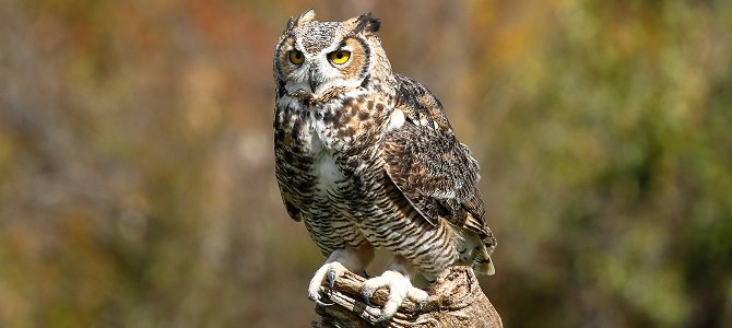 Discover the Great Horned Owl