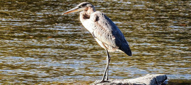 Bird of the Week: Great Blue Heron
