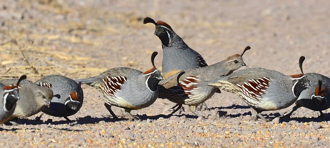 A Drift of Quail