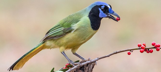 Green Jay - Photo by Andy Morffew