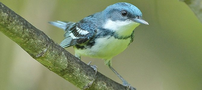 Bird of the Week: Cerulean Warbler