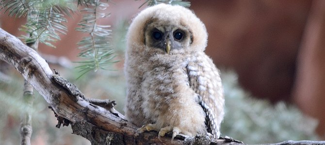 Mexican Spotted Owlet