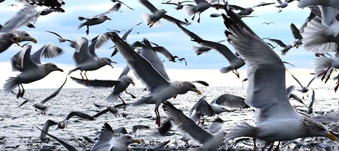 Gull Flock