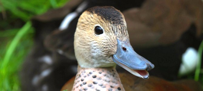 Wednesday Smile – All About Ducks!