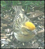 Yellow Cassin's Finch