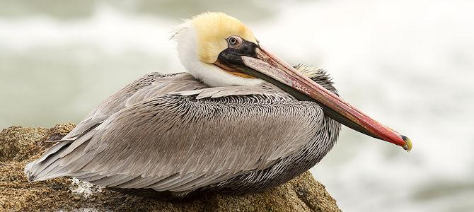 Weekly Bird: Brown Pelican