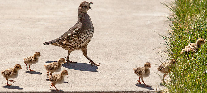 California Quail Mother and Chicks