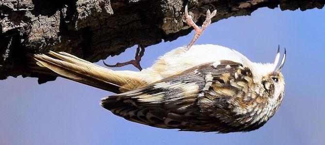 Weekly Bird: Brown Creeper