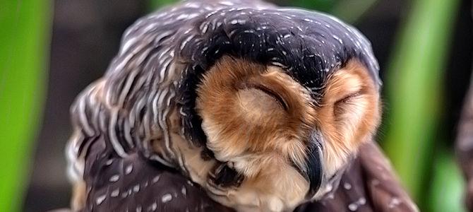 Owl Smile