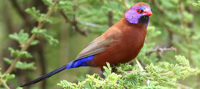 Violet-Eared Waxbill - Male