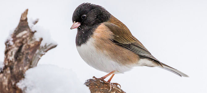 Dark-Eyed Junco - Oregon Race