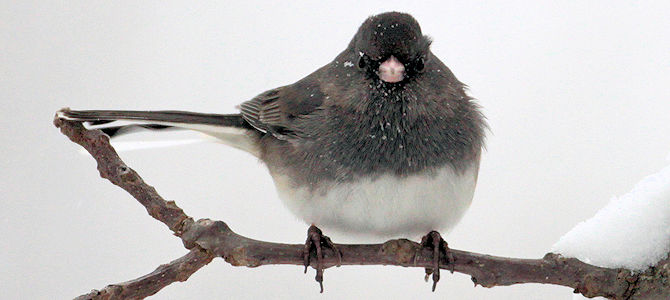 Dark-Eyed Junco - Slate-Colored Race