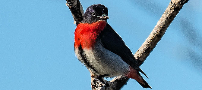 Weekly Bird: Mistletoebird