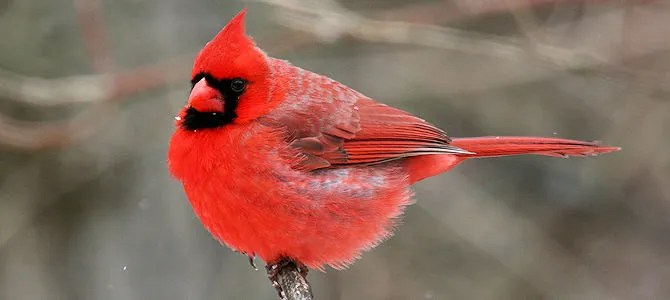 Northern Cardinal Photo Gallery