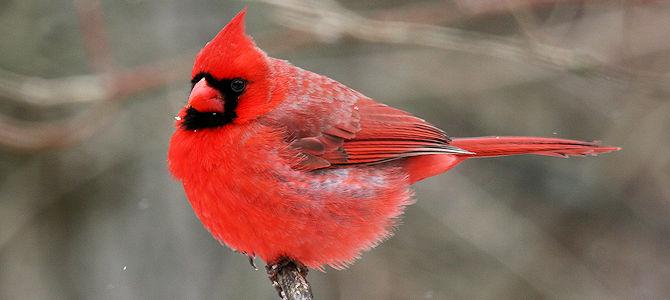 Northern Cardinal Photo Gallery