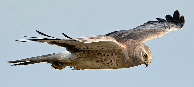 Northern Harrier - Male