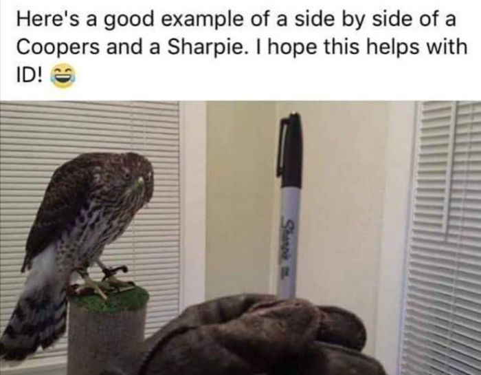 Cooper's Hawk or Sharpie?