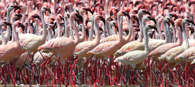 Lesser Flamingo Photo Gallery