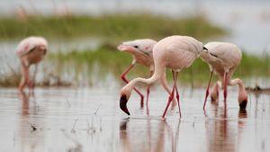 Lesser Flamingos Feeding