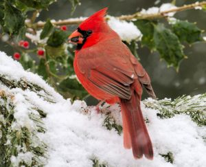 Male Northern Cardinal - Photo by Larry Hennessy