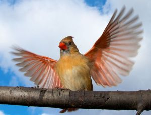 Wings and Clouds - Female Northern Cardinal - Photo by Larry Hennessy